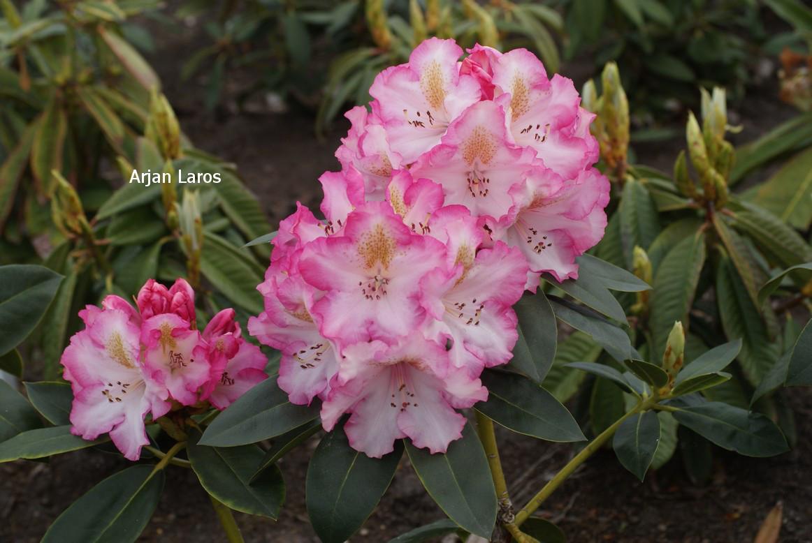Rhododendron 'Saskia'