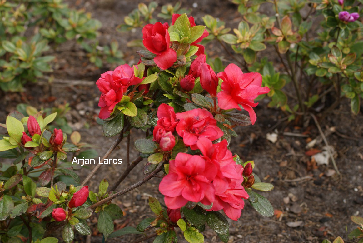 Rhododendron 'Fridoline' (Azalea)