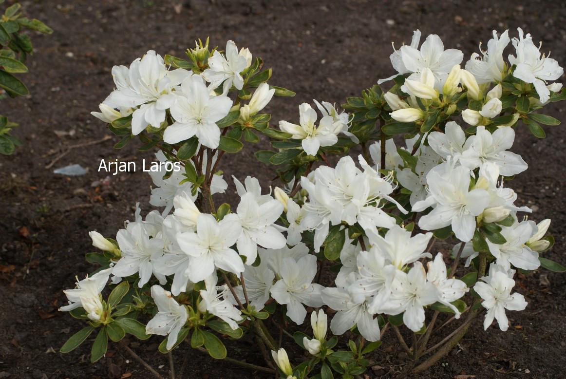 Rhododendron 'Desiree' (Azalea)