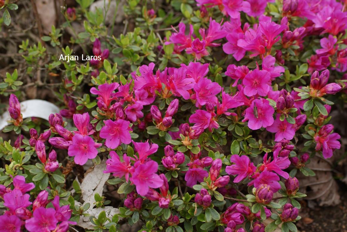 Rhododendron 'Mayogi' (Azalea)