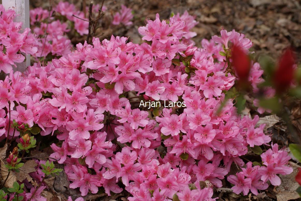 Rhododendron 'Mie-no-umi' (Azalea)