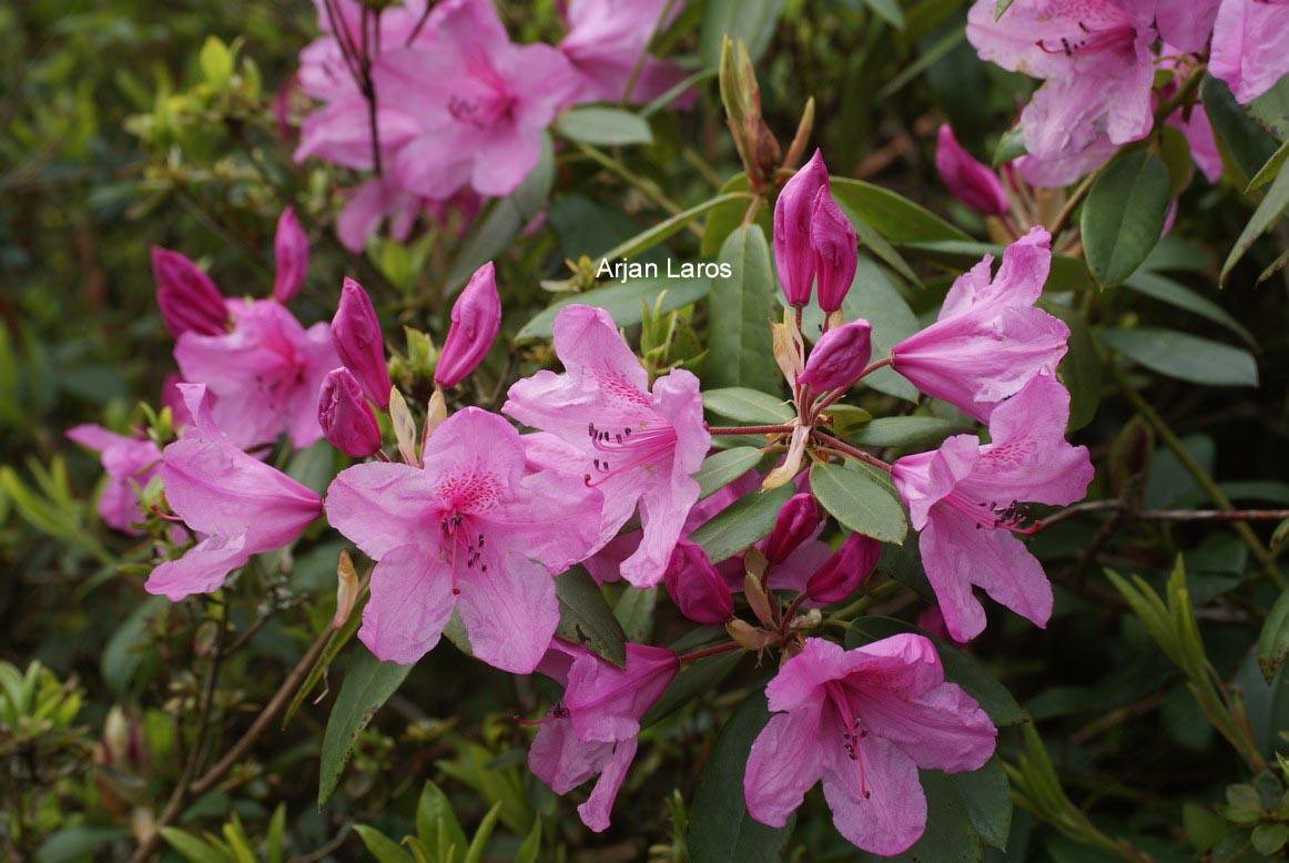 Rhododendron 'Azaleoides'