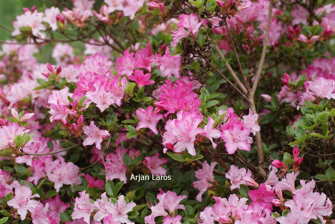 Rhododendron 'Kome kulshan' (Azalea)