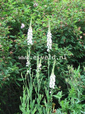 Linaria purpurea 'Alba'