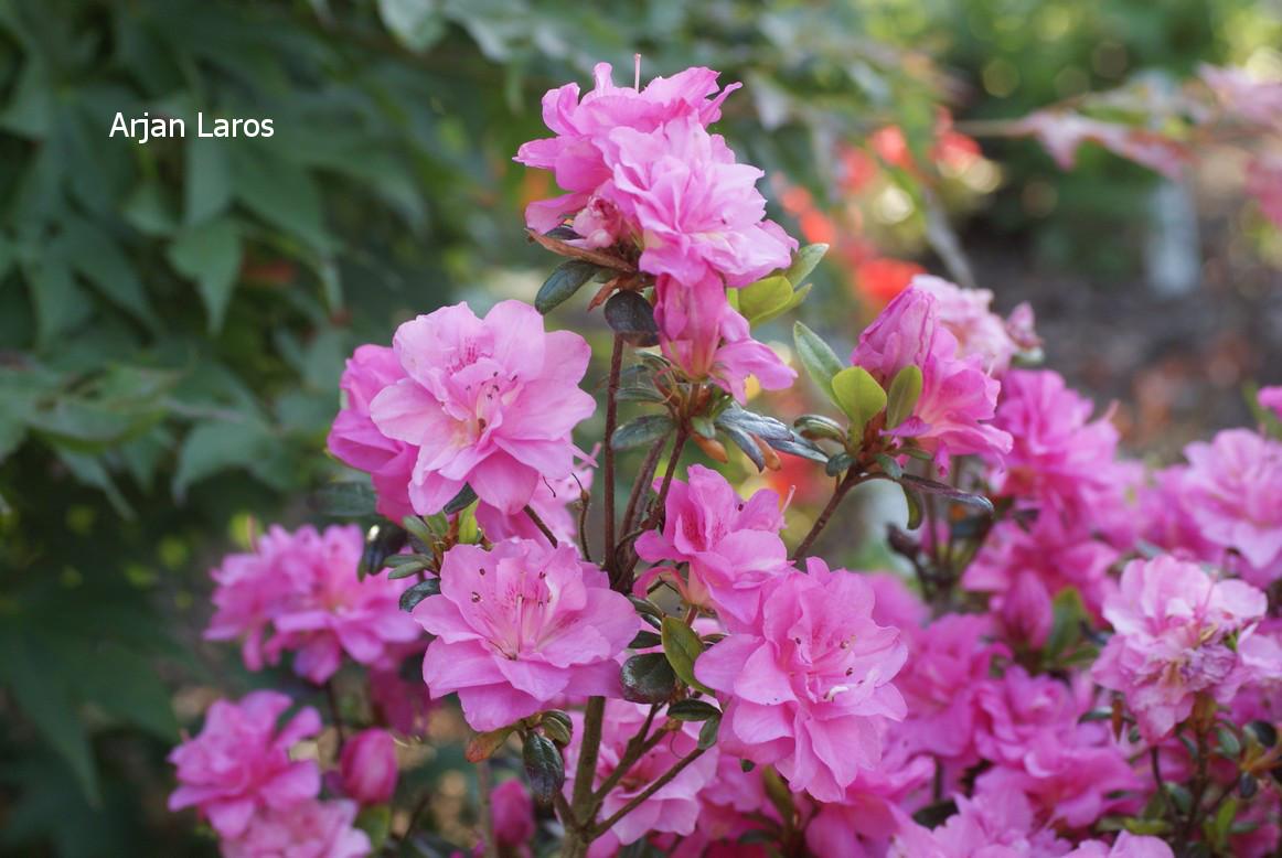 Rhododendron 'Hachrosi' (ROSINETTA) (Azalea)