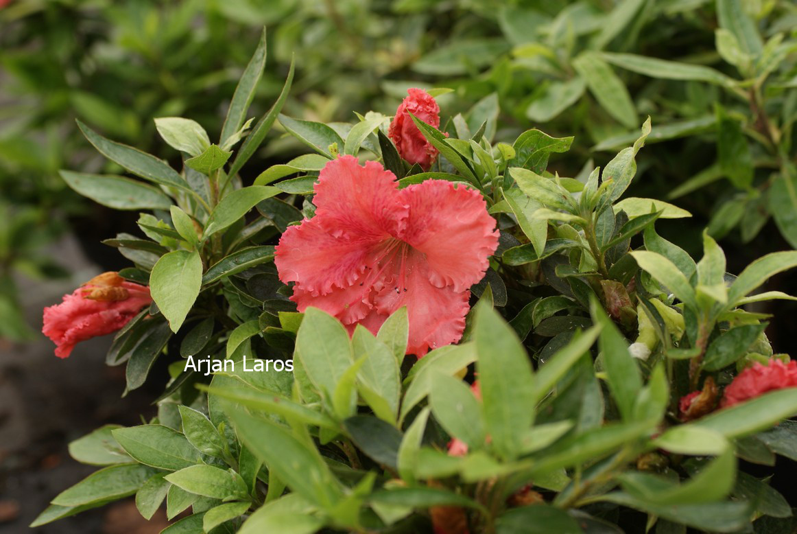 Rhododendron 'General Wavell' (Azalea)