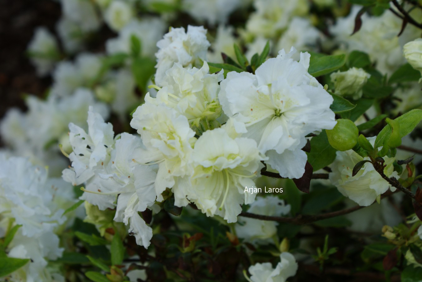 Rhododendron 'Helen Curtis' (Azalea)