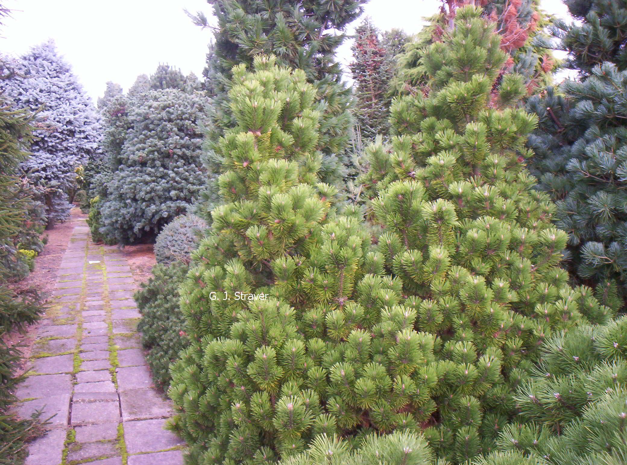 Pinus mugo 'Mumpitz'