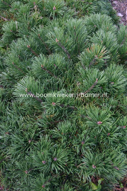 Pinus mugo 'Krauskopf'