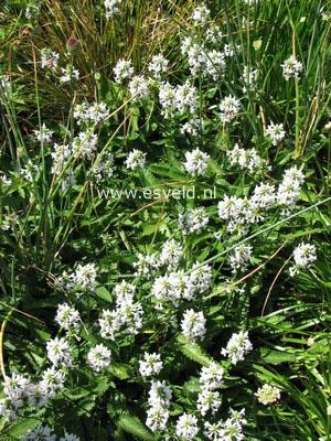 Stachys officinalis 'Alba'