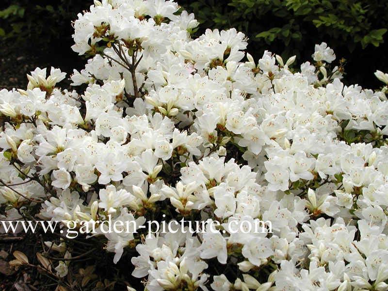 Rhododendron 'Diamant Wit' (Azalea)