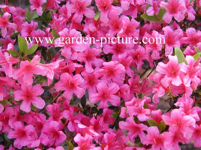 Rhododendron 'Kermesina' (Azalea)