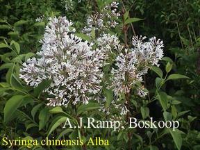 Syringa chinensis 'Alba'