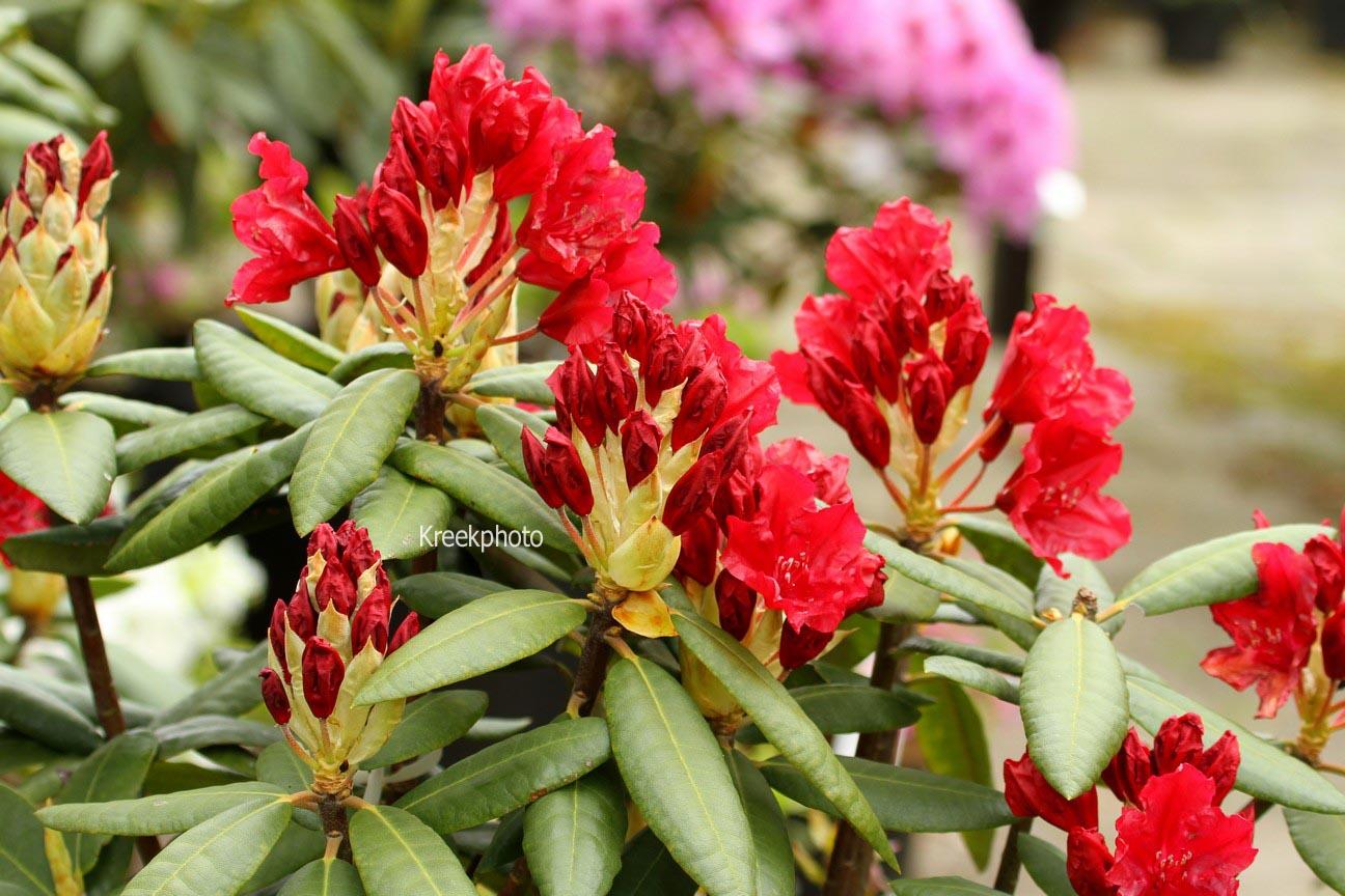 Rhododendron 'Torero'