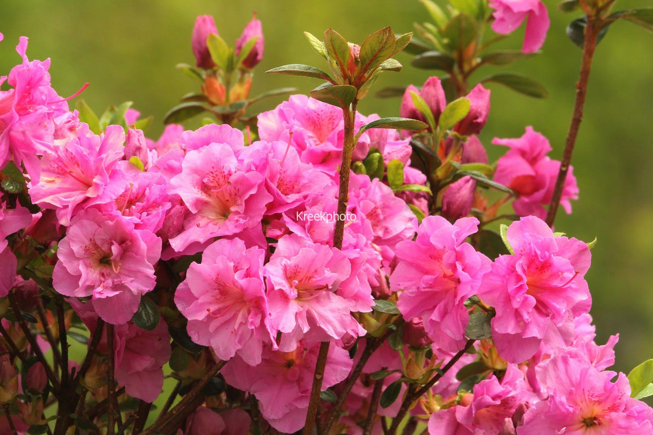 Rhododendron 'Thekla' (Azalea)
