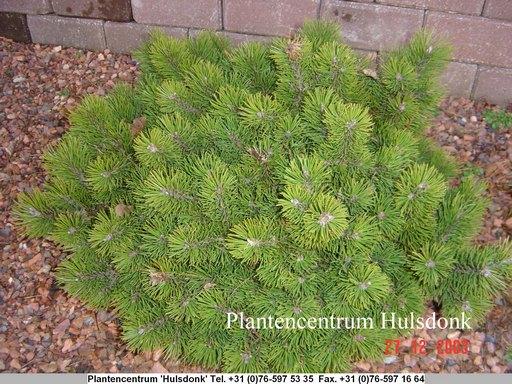 Pinus mugo 'March'