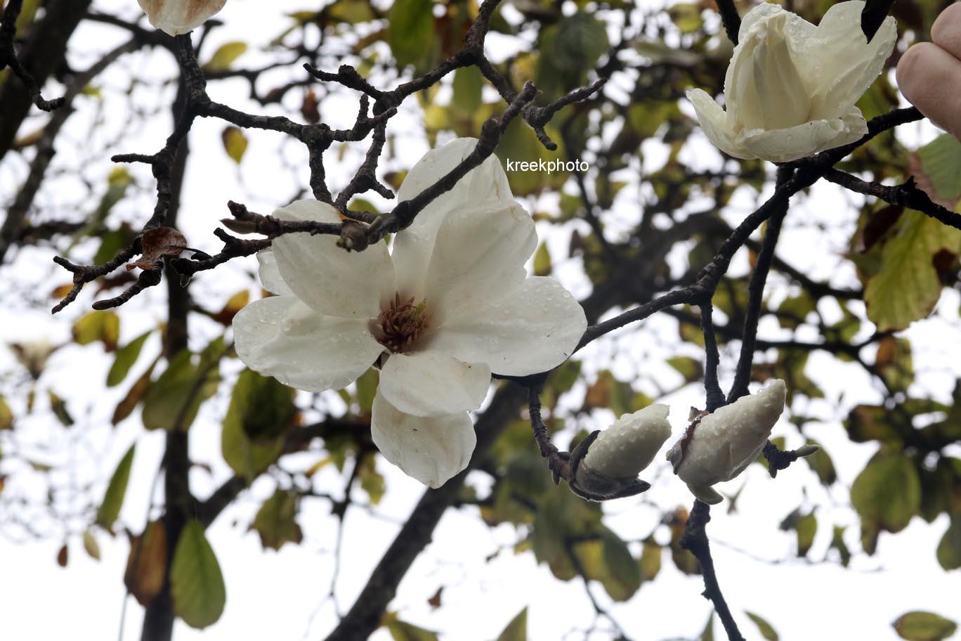 Magnolia denudata (= Yulan-magnolia)
