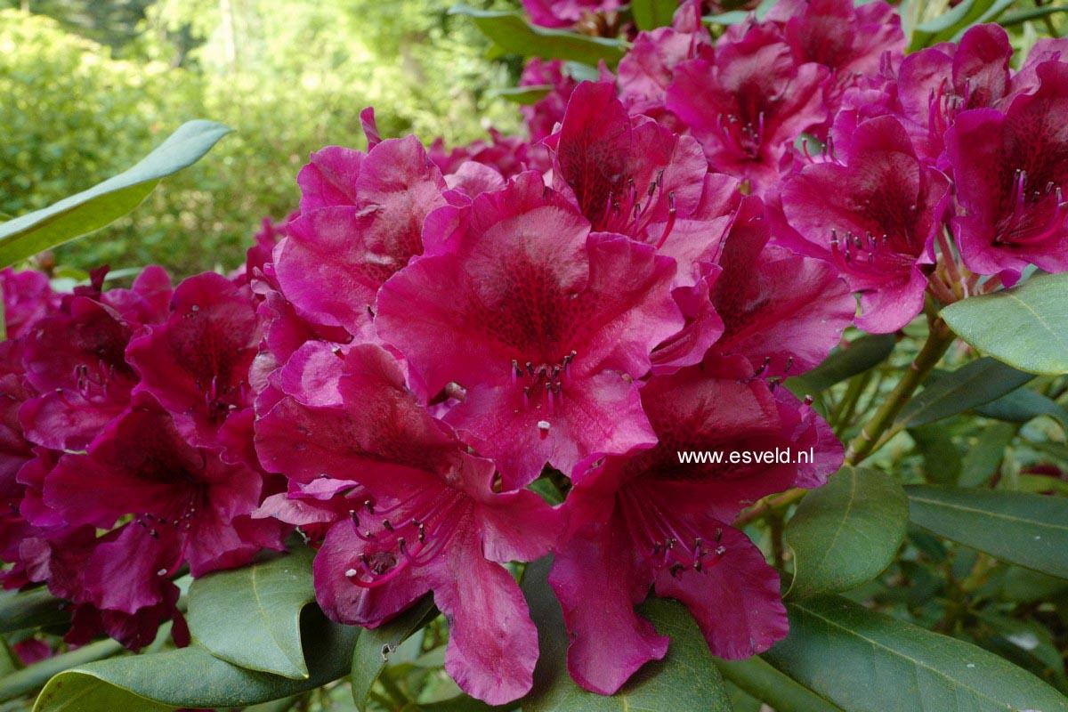 Rhododendron 'Black Sport'