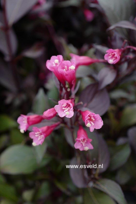 Weigela florida 'Alexandra' (WINE AND ROSES)
