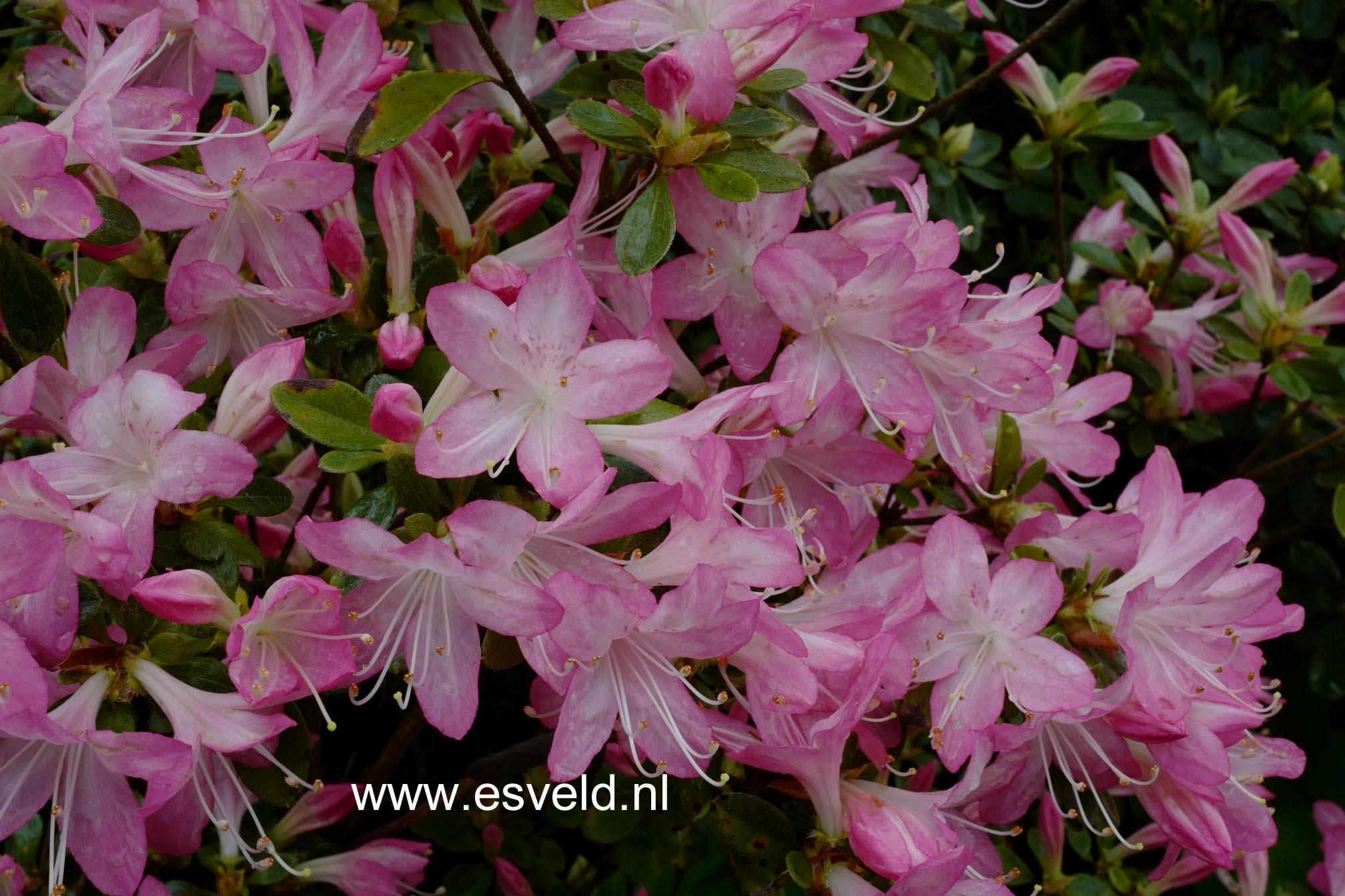 Rhododendron 'Louisa' (Azalea)