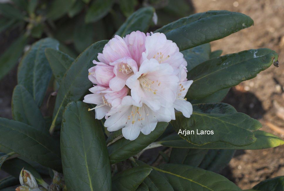 Rhododendron 'Rexima'