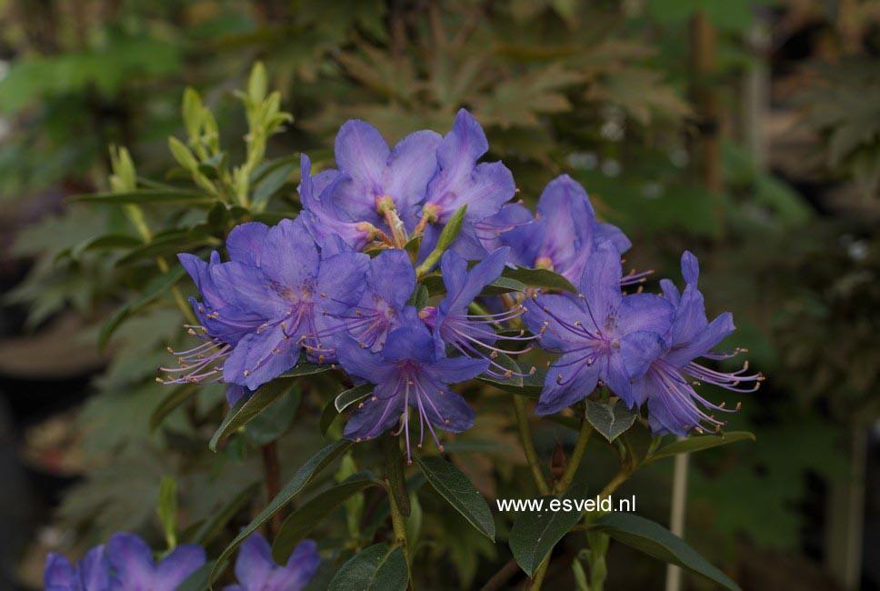 Rhododendron 'Russautinii'