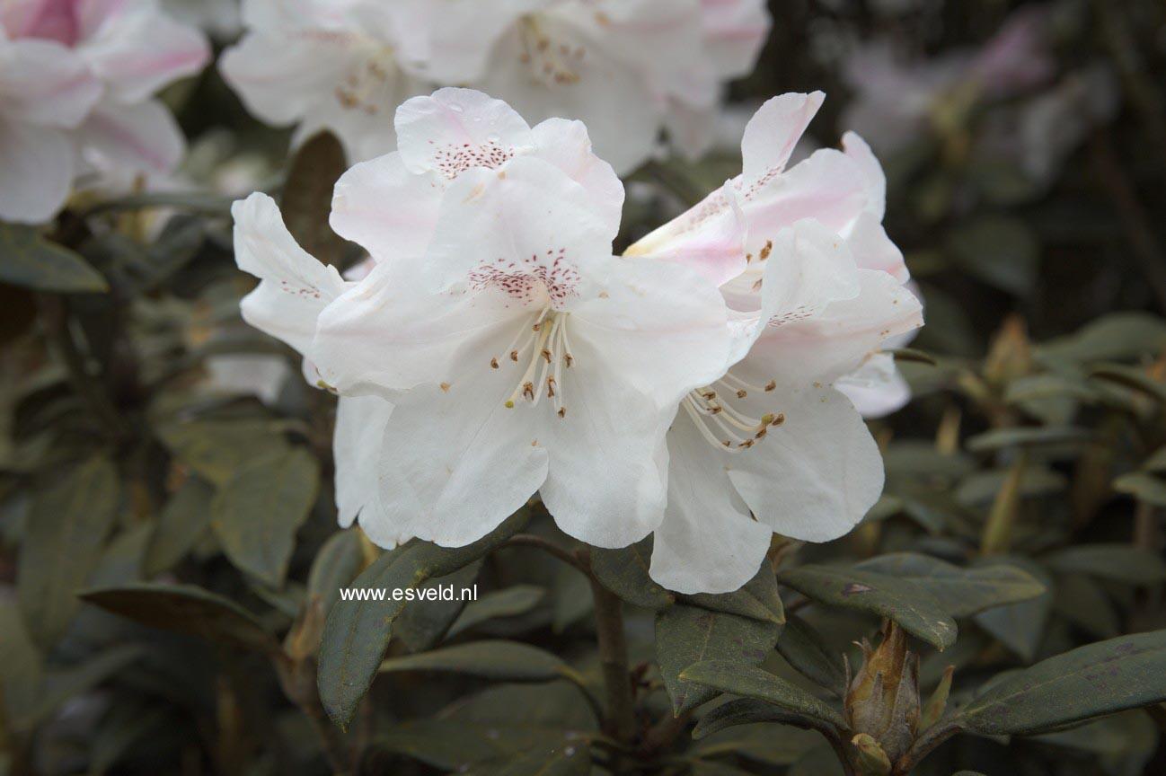 Rhododendron adenogynum
