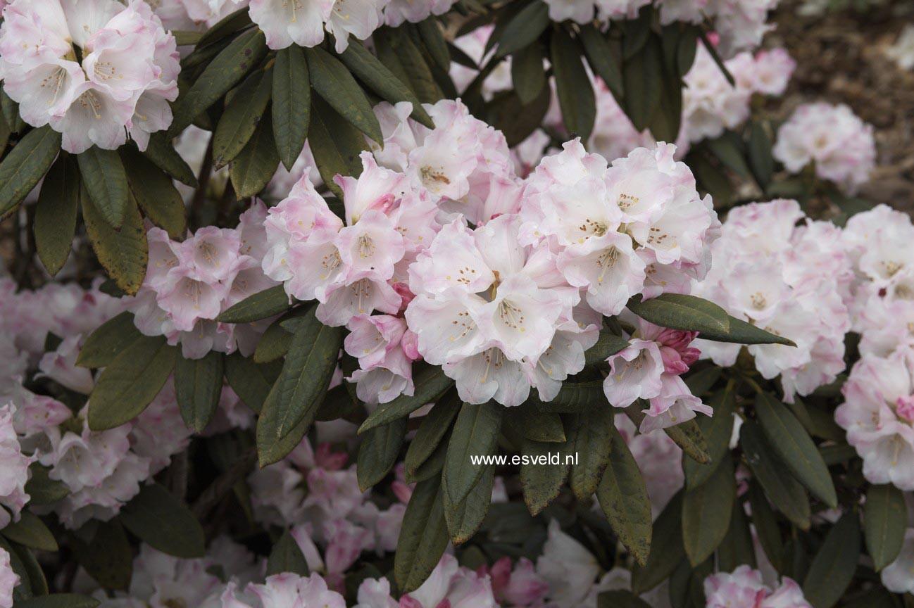 Rhododendron faberi