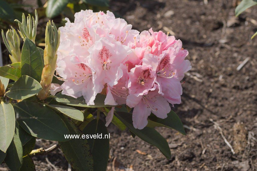 Rhododendron 'Peggy Bannier'