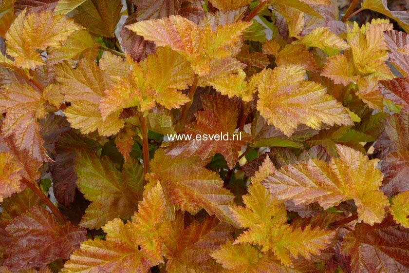 Physocarpus opulifolius 'Jefam' (AMBER JUBILEE)
