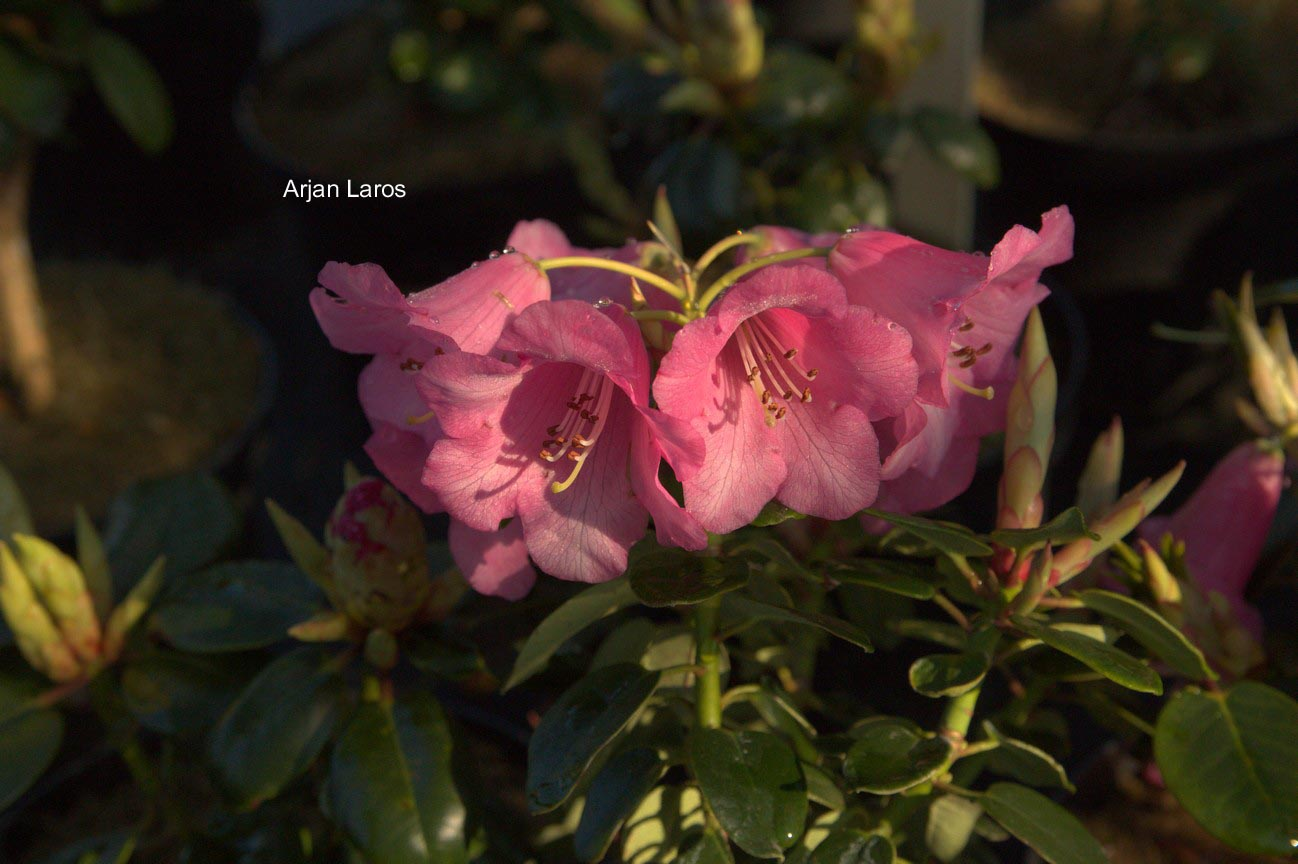 Rhododendron 'Pink Bountiful'
