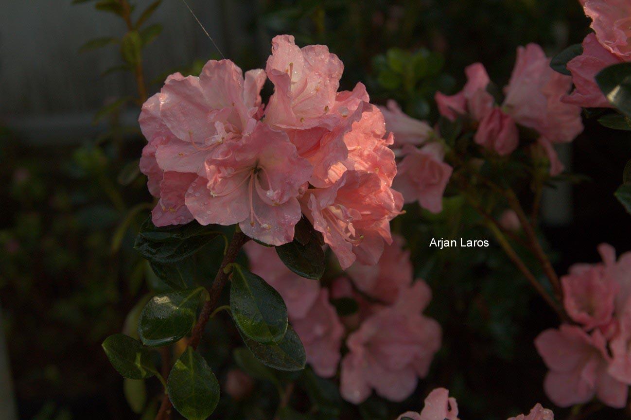 Rhododendron 'Hera' (Azalea)