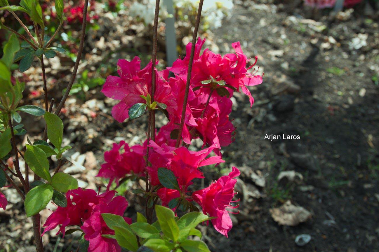 Rhododendron 'Marie' (Azalea)