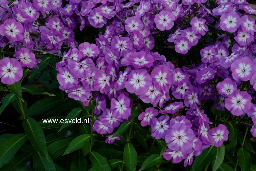 Phlox paniculata 'Uspech'