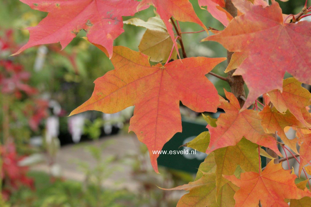 Acer 'Warrenred' (PACIFIC SUNSET)