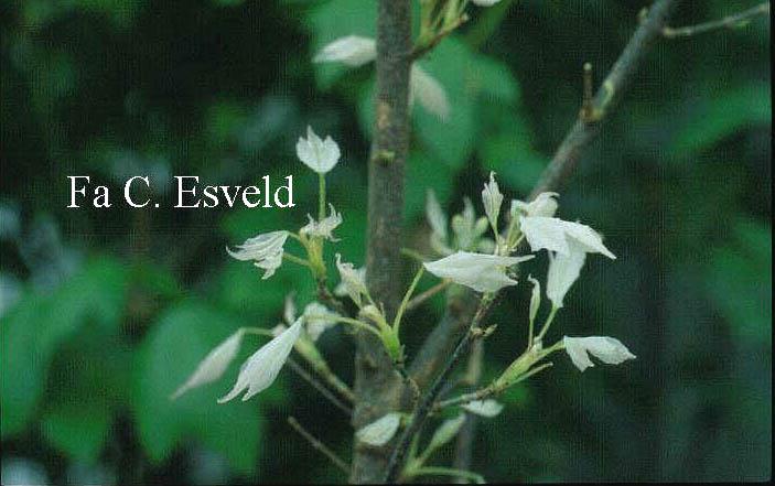 Acer buergerianum 'Hanachiru sato'