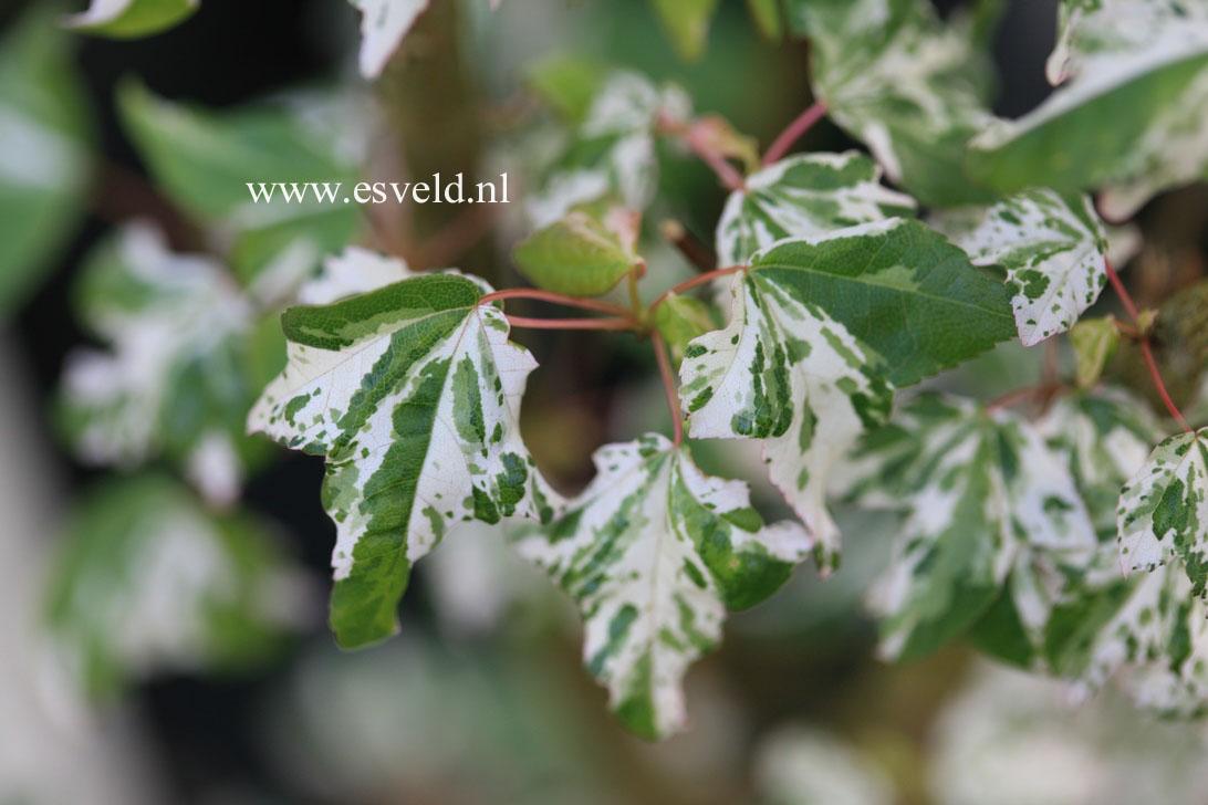 Acer buergerianum 'Musashi'