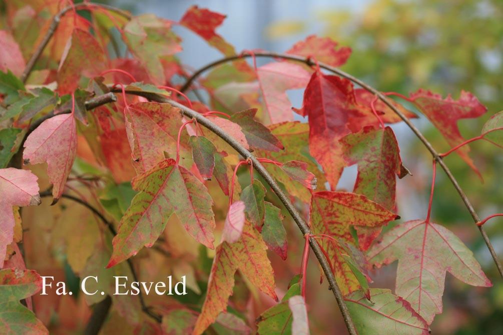 Acer buergerianum 'Pendula'