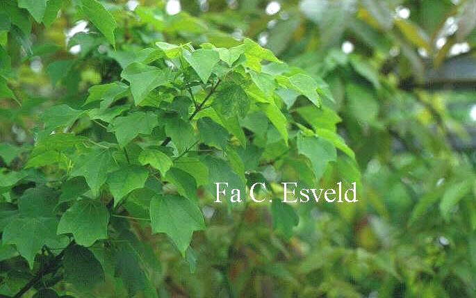 Acer buergerianum 'Subintegrum'