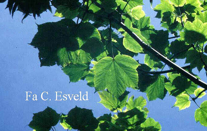 Acer caesium ssp. giraldii