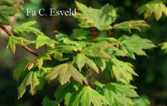 Acer circinatum 'Victoria'