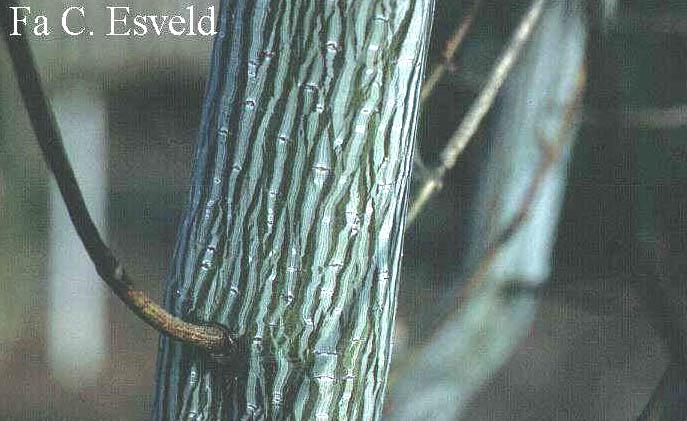 Acer davidii 'Madeline Spitta'