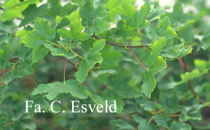 Acer hyrcanum ssp. intermedium