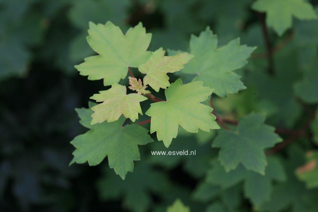 Acer hyrcanum ssp. sphaerocarpum
