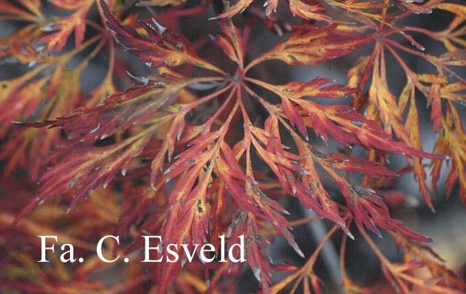 Acer japonicum 'Dissectum'