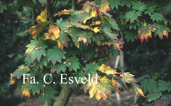 Acer japonicum 'Meigetsu'