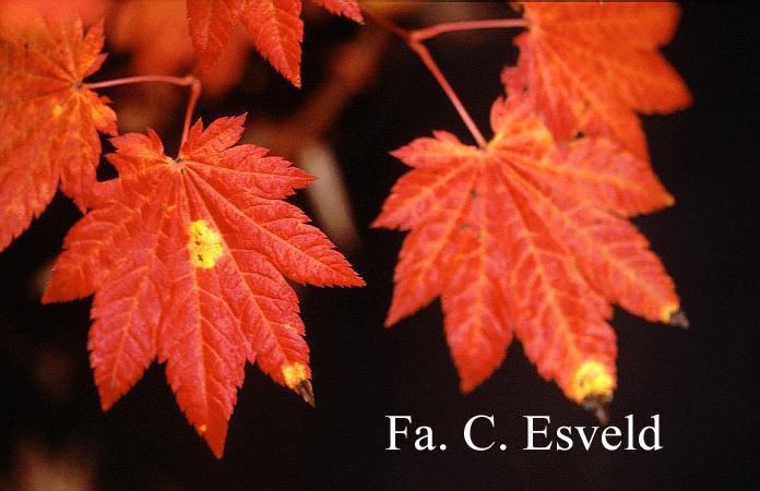 Acer japonicum 'Ōgi-no-sen'