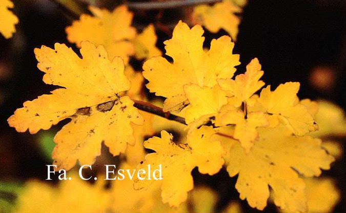 Acer opalus ssp. hispanicum