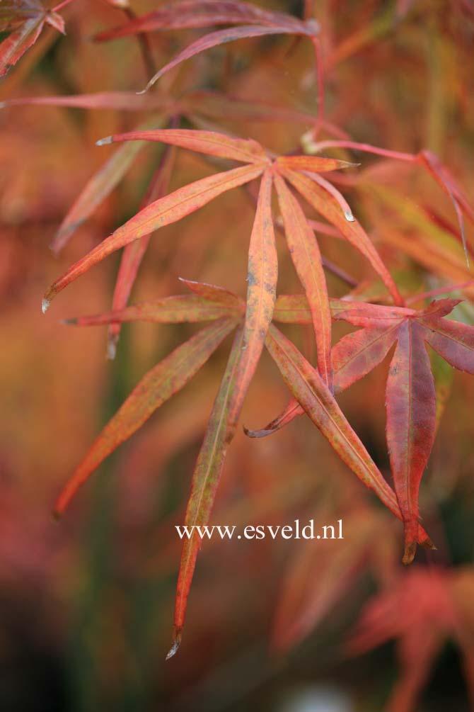 Acer palmatum 'Aka-shime-no-uchi'