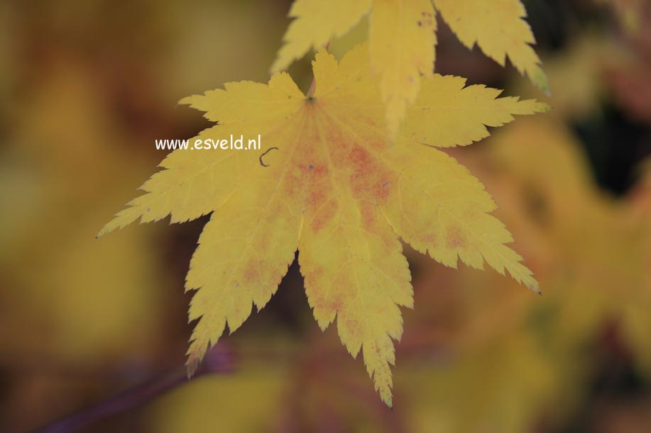 Acer palmatum 'Aki-tsuma-gaki'